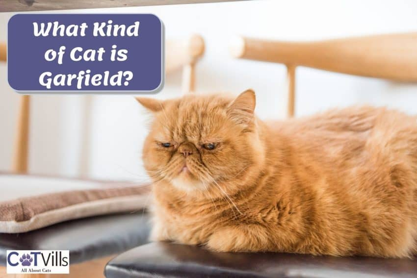 an orange cat that looks like garfield but what are the garfield cat breeds?