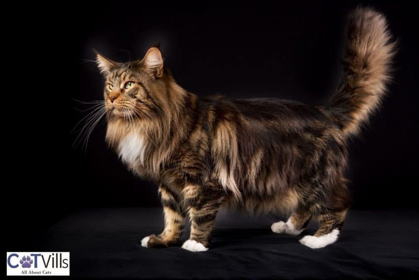 a huge Maine coon cat with white feet