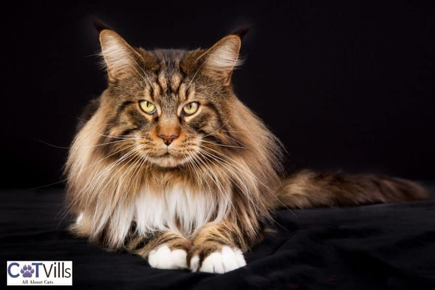 a handsome Maine coon cat looking at the camera, what's the maine coon lifespan?