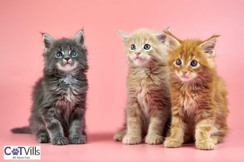 three Maine coon kittens with different coat colors