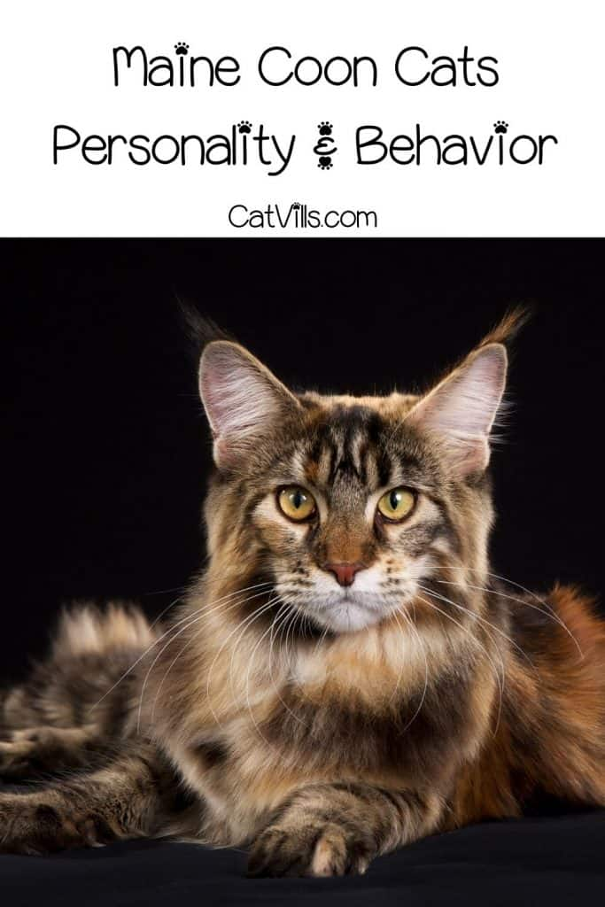 Maine coon cat with large eyes and ears