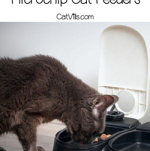 cat eating in microchip cat feeder