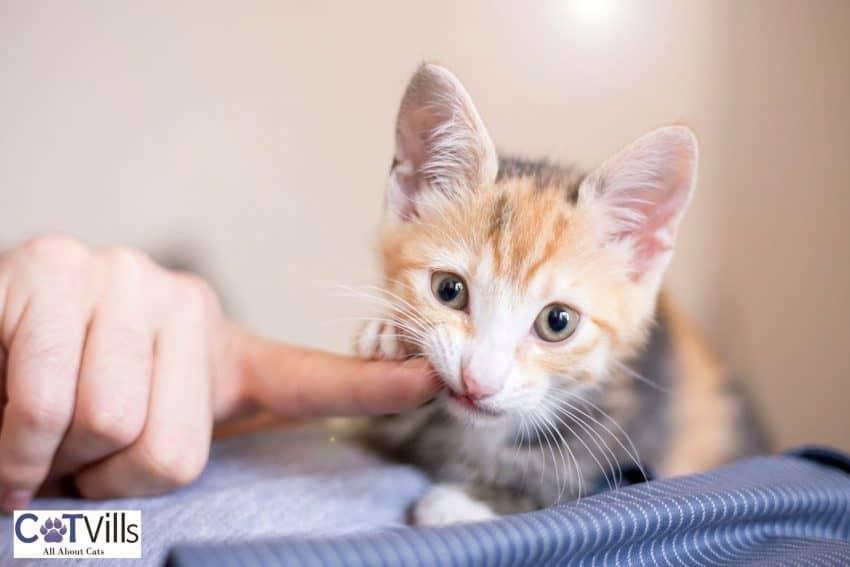 kitten biting his owner's finger