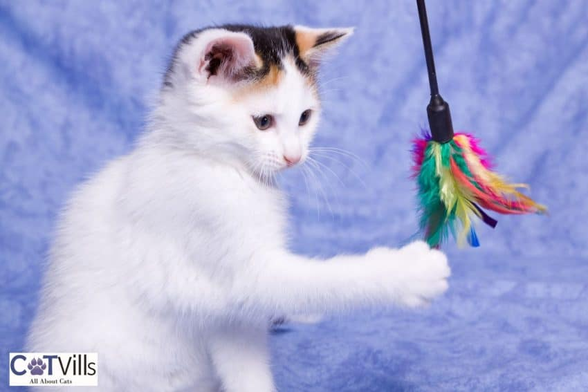 white kitten playing with her toy