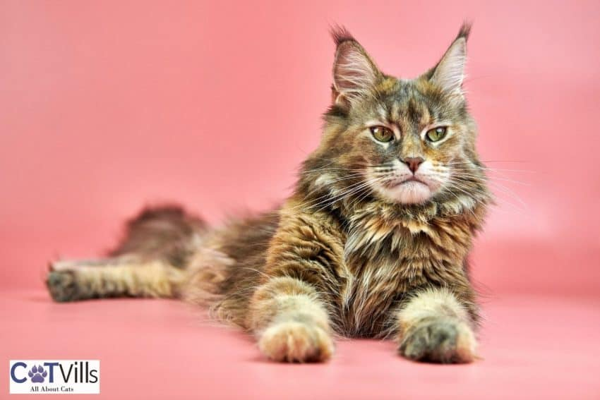 beautiful furry cat lying on the pink floor