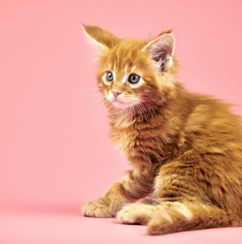 cute ginger kitten with pick background