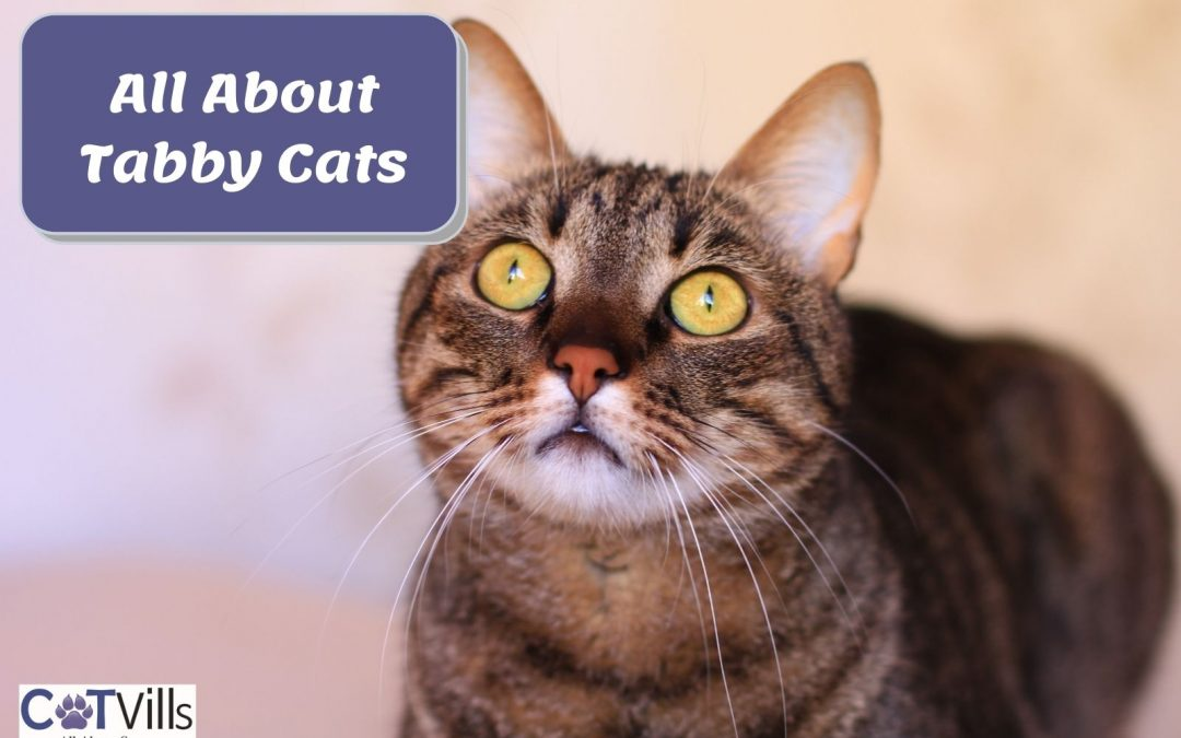Everything You Need to Know About Tabby Cats