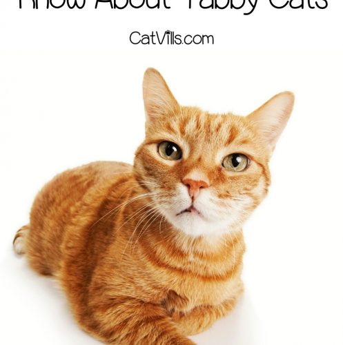 orange tabby cat looking at the camera