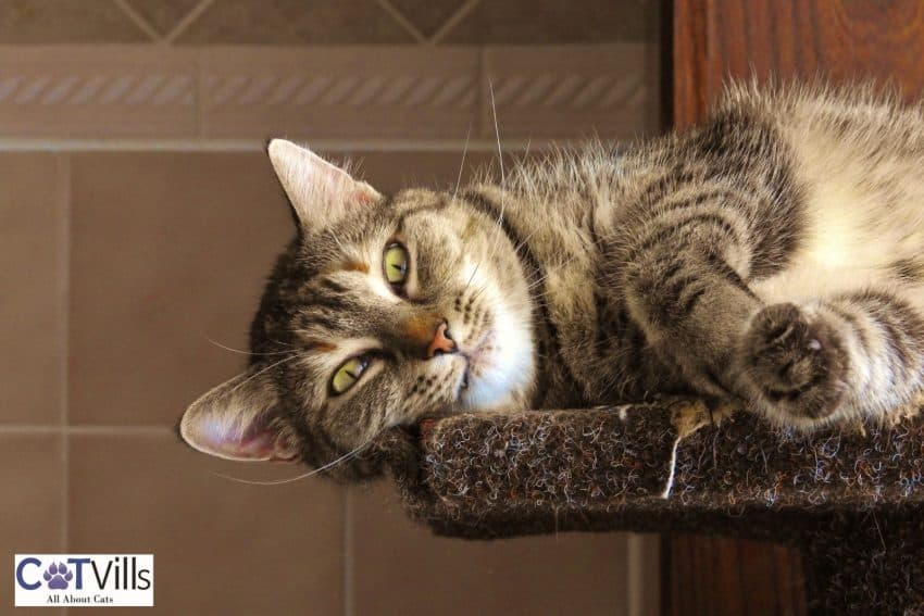tabby cat lying on his window bed