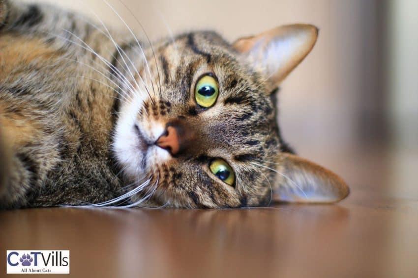 tabby cat lying on the floor