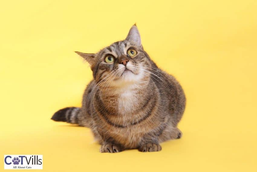 chubby tabby cat happily looking above