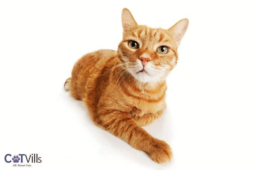 a very adorable ginger tabby cat
