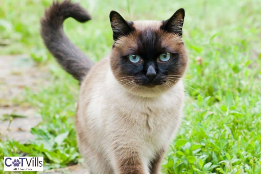 apple head siamese cat, one of the