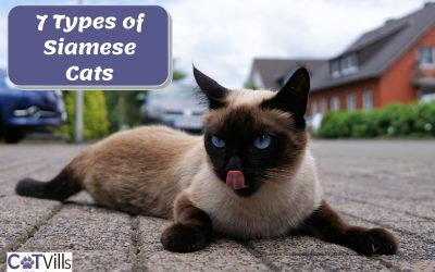 7 Types of Siamese Cats You'll Love!