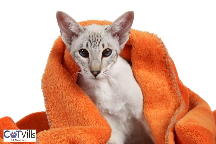 modern siamese cat covered by a blanket