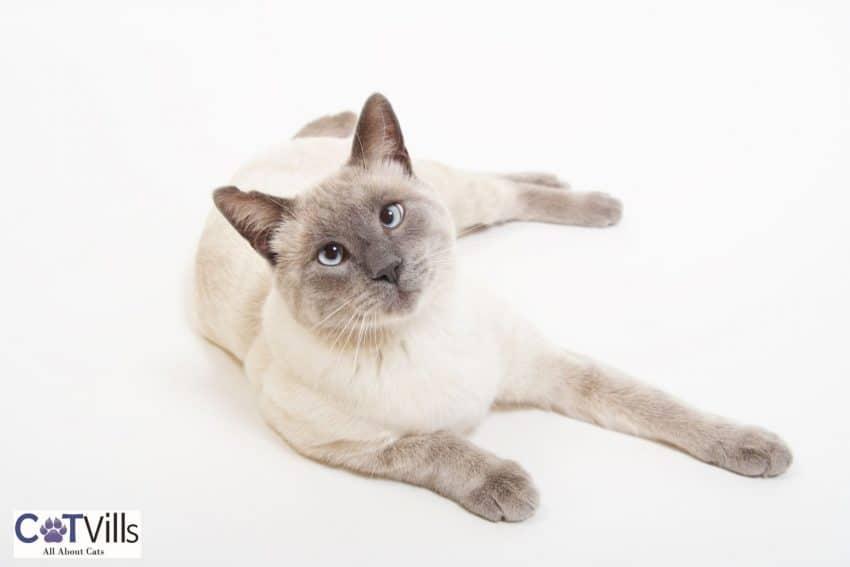 light-colored Siamese cat