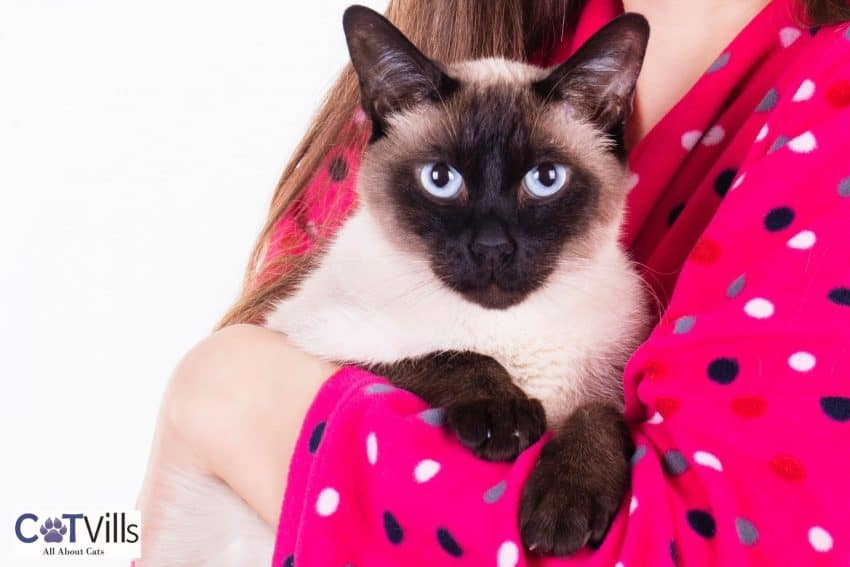 Siamese cat held by his owner
