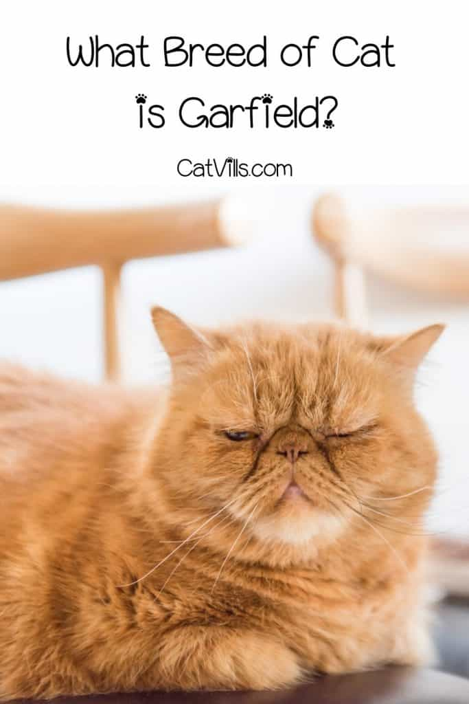grumpy orange cat
