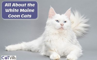 Everything You Need to Know About White Maine Coon Cats