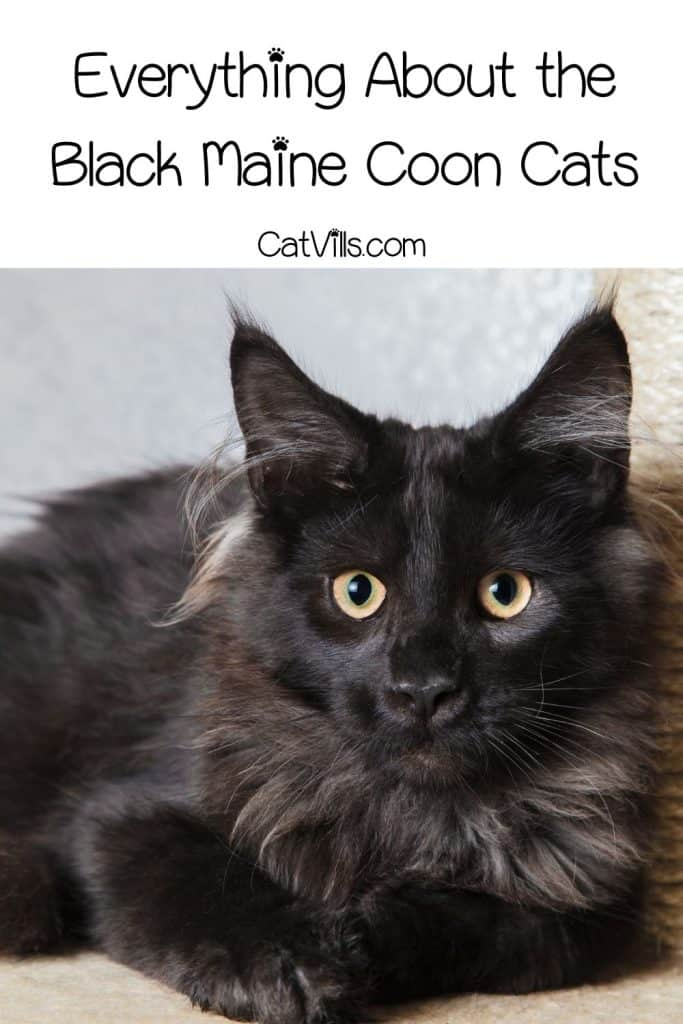 black Maine coon with huge eyes
