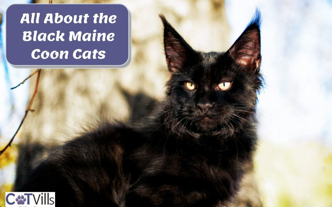 Everything You Need to Know About Black Maine Coon Cats