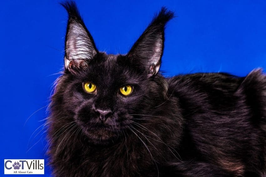 gorgeous black Maine coon cat with a blue background