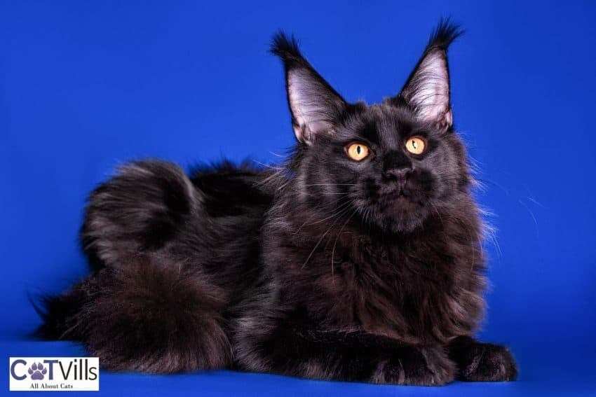 gorgeous black Maine coon in a blue background