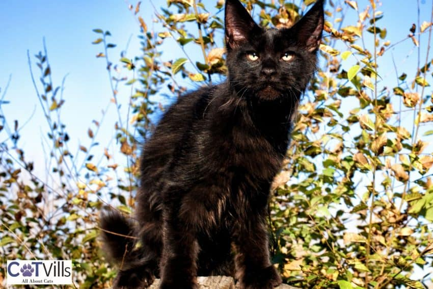 black Maine coon kitten outside the hourse