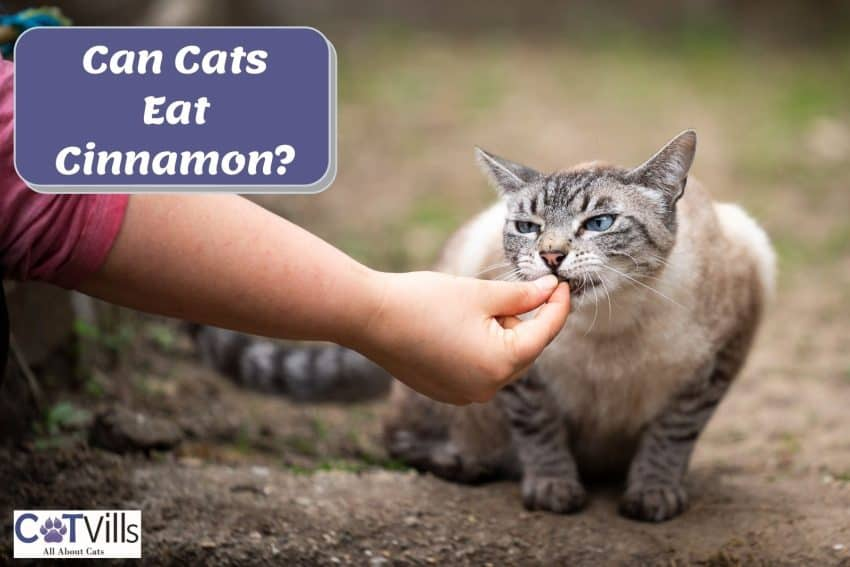 hand giving cinnamon to her cat but can cats eat cinnamon?
