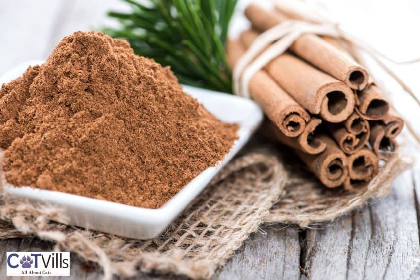 cinnamon powder on a small plate: can cats eat cinnamon safely?