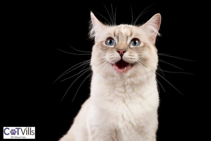 cat smiling wide but do cats smile when they're happy?