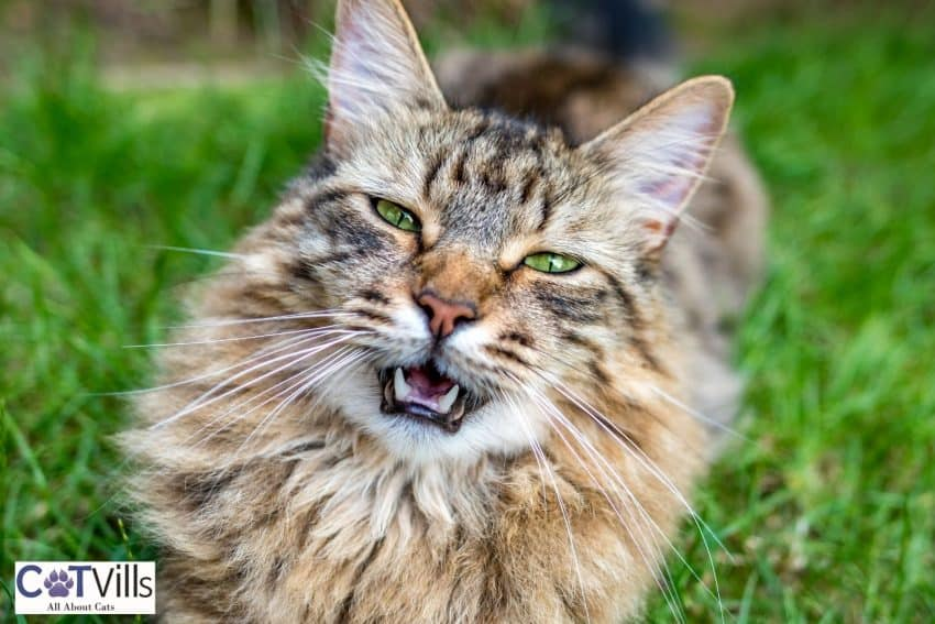 Maine coon with bright green eyes