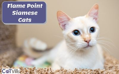 Everything About the Flame Point Siamese Cats