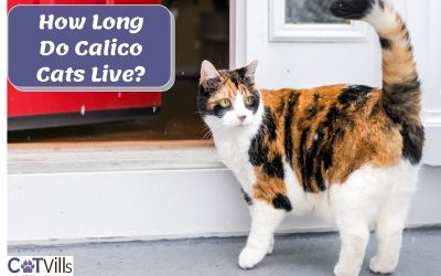 What is the Average Lifespan of a Calico Cat?