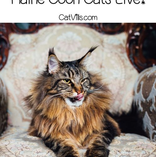 handsome Maine coon sitting on a couch
